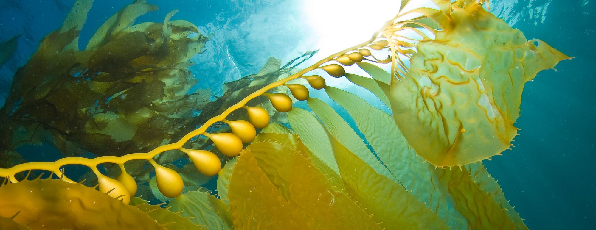 Tri-Kelp™ – A Multi Purpose Marvel