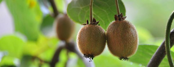 Australian Company Helps with Kiwifruit Crisis